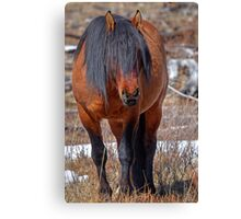 Shaggy Stallion Canvas Print
