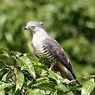 Pacific Baza or Crested Hawk (image 1) by cathywillett