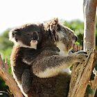 How much can a koala bear? by Leanne Churchill