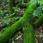 Old man of the forest. D'Aguilar range. Queensland. by Ian Hallmond