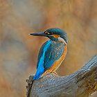 Kingfisher by Trevsnature