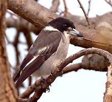 Butcher Bird by John Sharp