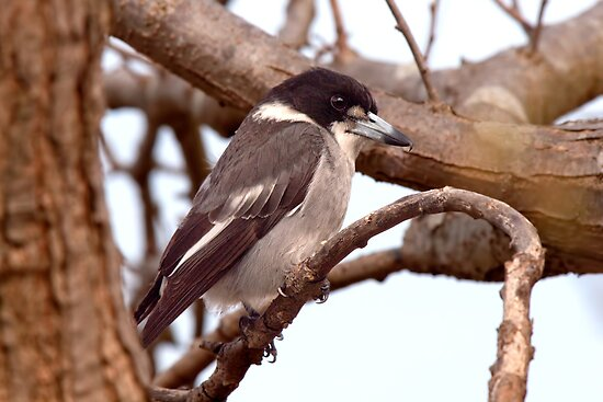 butcher bird A new processing technique is opening up montezuma mining's (asx:mzm)  large-scale butcherbird deposit in western australia to the high value, high-purity .