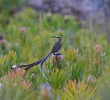 The Sugar Bird  by Johanna26