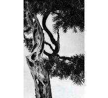 Bonsai at Botanical Gardens Photographic Print