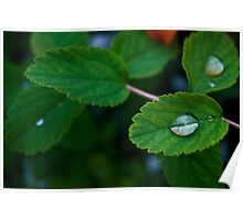Water Drops on Green Leaves Poster