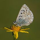 Chalkhill Blue by Trevsnature