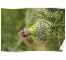 Thistle Bud Poster