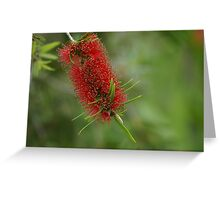bottle brush flower Greeting Card