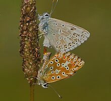 Chalkhill Blues Mating by Trevsnature