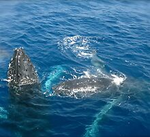 Whales at play, Gold Coast, QLD. Australia by Margaret Stanton