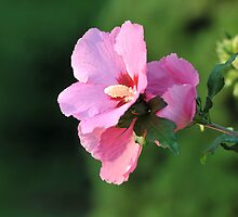 Hibiscus - Mallow Family by Lynda   McDonald