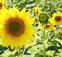 Sunflowers in a Field by rhamm