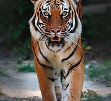 Tiger by Ayhun