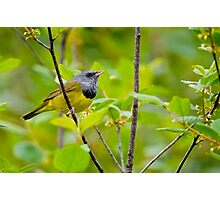 Mourning Warbler Photographic Print