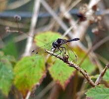 Black Darter by Jamie  Green