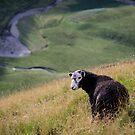 Sheepish, Lake District National Park by strangelight