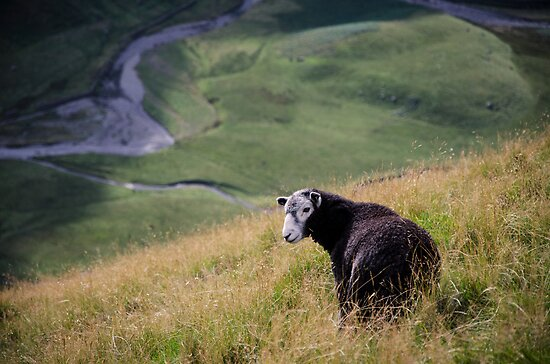 Sheepish, Lake District National Park by strangelight