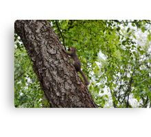 The squirrel protecting his nuts  Canvas Print