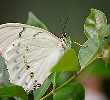 White Morpho Butterfly  by Saija  Lehtonen