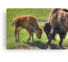 Little Big Bull - The Challenge Canvas Print