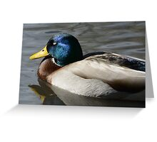 Mallard Duck Drake sleeping Greeting Card