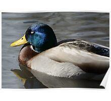 Mallard Duck Drake sleeping Poster
