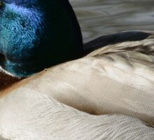 Mallard Duck Drake sleeping Sticker
