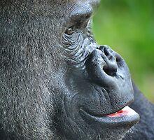 Mountain Gorilla by Kathy Baccari