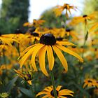 Black Eyed Susan by Vicki Spindler (VHS Photography)