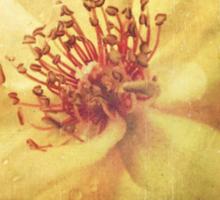 Antique Look Yellow Flower in Summer Sun Sticker