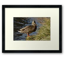 Mallard duck hen Framed Print