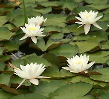 Water Lilies in a Pond by rhamm