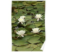 Water Lilies in a Pond Poster