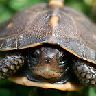 Baby Turtle  by Jplatt