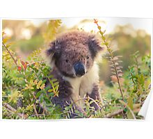 Koala in the Front Yard Poster