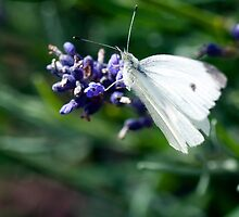 Large White by Stephen Maxwell