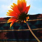 Blanket Flower by Betty  Town Duncan