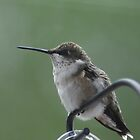 Relaxed Hummingbird by yakkphat