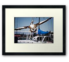 Pelican's successful lift off (in Batemans Bay/NSW/Australia) Framed Print