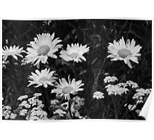 Daisies in Black & White Poster