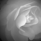 Delicate Petals ~ Rose in Black & White by Jan  Tribe