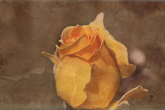 Honey Perfume Floribunda Rose  with Texture by Robert Armendariz