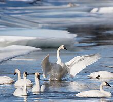 Trumpeter Swans on Pine Creek by Marty Samis