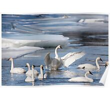 Trumpeter Swans on Pine Creek Poster