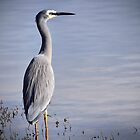 White-faced Heron by Karine Radcliffe