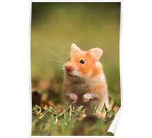 golden hamster pet Poster