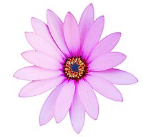 Violet Daisy Photographic Print