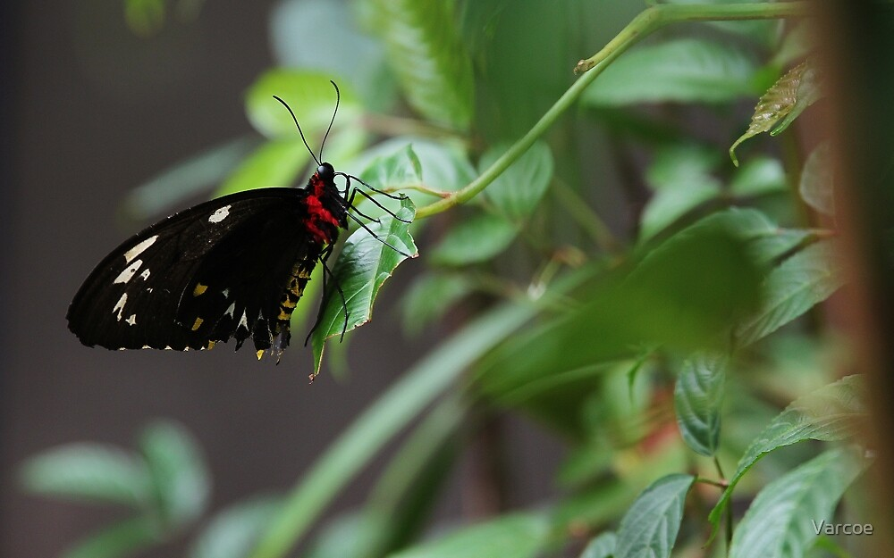 Butterfly by Jeanette Varcoe.