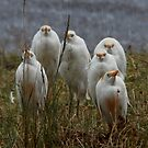 Patience has its virtues -  Cattle Egrets Ngorongoro Crater Tanzania by john  Lenagan